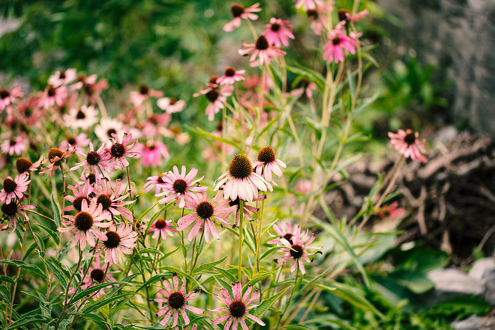 Pink echinacea in a sunny flower field i
