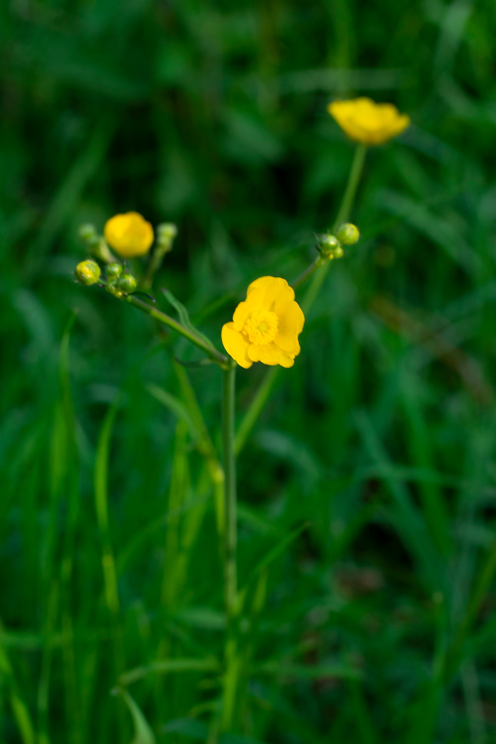 A yellow field buttercup blowing in the wind