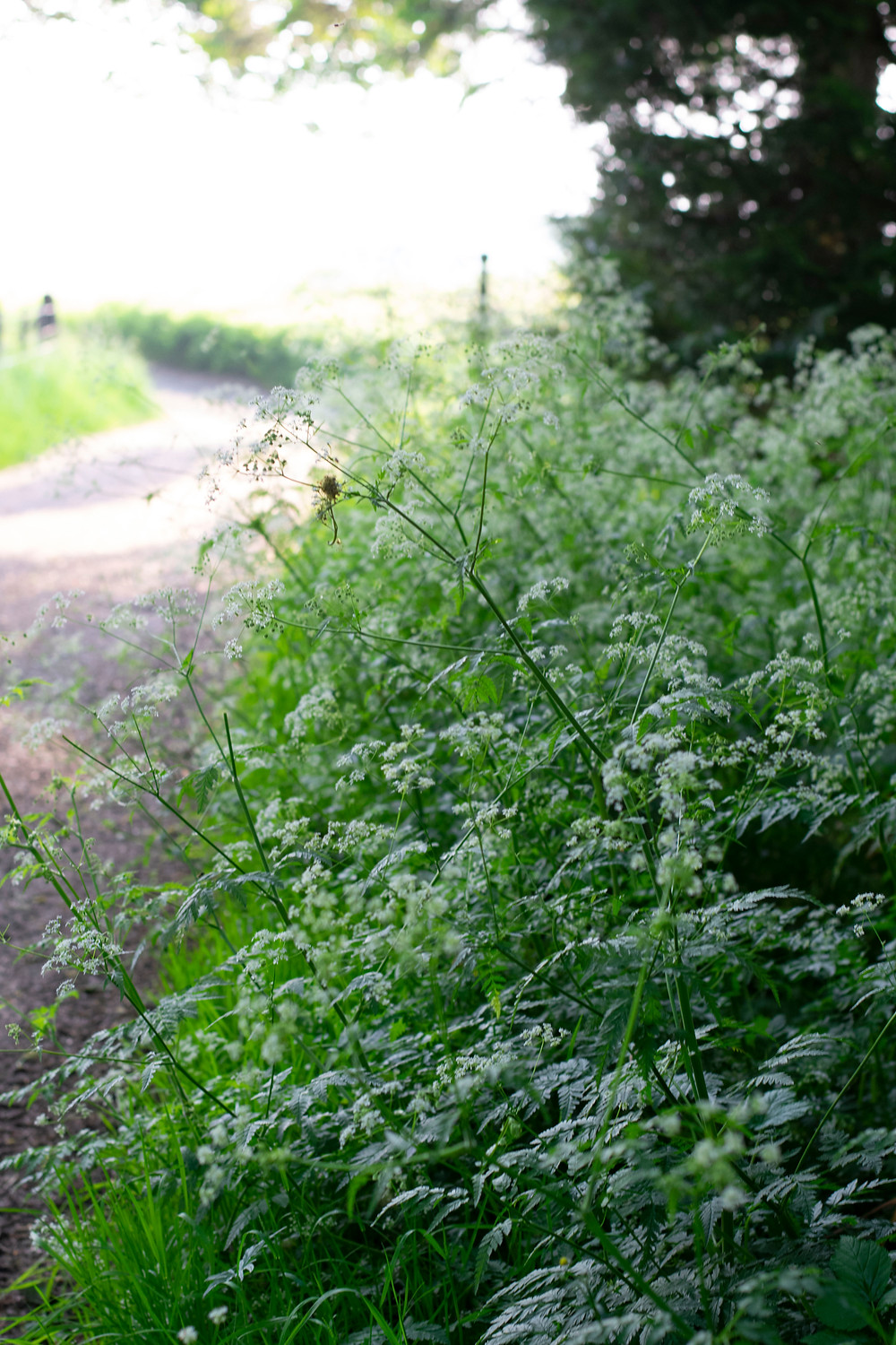 A country lane thick with cow parsley under the shade of trees with sunshine in the background