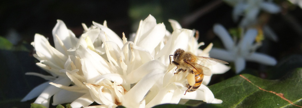 Bees love coffee tree flower