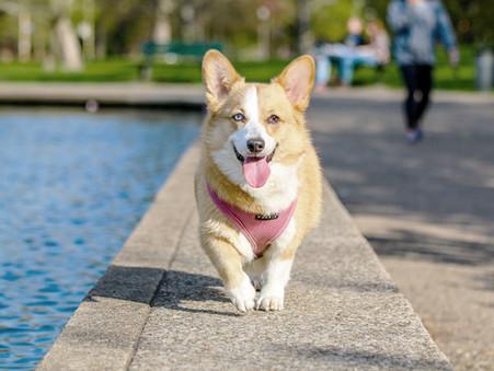 Cómo identificar falla renal en tu perro