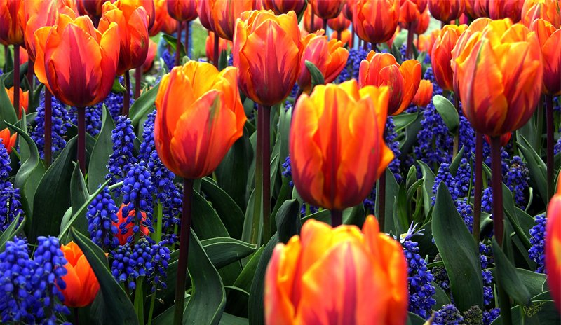Orange and Blue Tulips