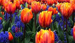 Orange and Blue Tulips