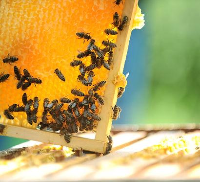 Honeycomb_honeybees_beehive_beekeeping_SaveTheBees_BeTheChange_Apiary_Apiarist_Honeybee_Beekeeper
