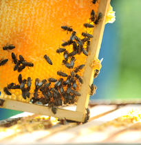 Blue Hive Bees