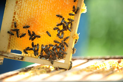 Bee in a Bee Hive