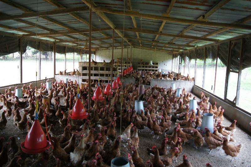 élevage de poules pondeuses