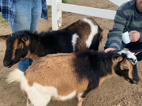 farm goats.jpg