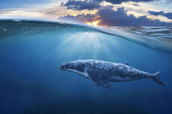 Song of the Blue Whale Activation