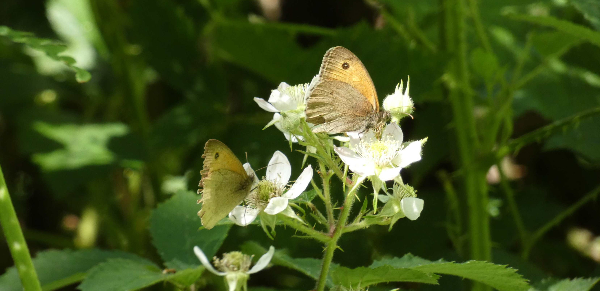 Meadow Brownbu.jpg