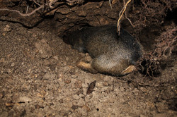 Teckel sous terre déterrage venerie