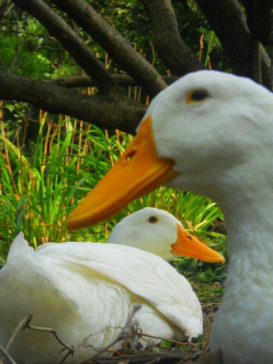 Duck Duck...