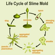 slime_mold_life_cycle.jpg