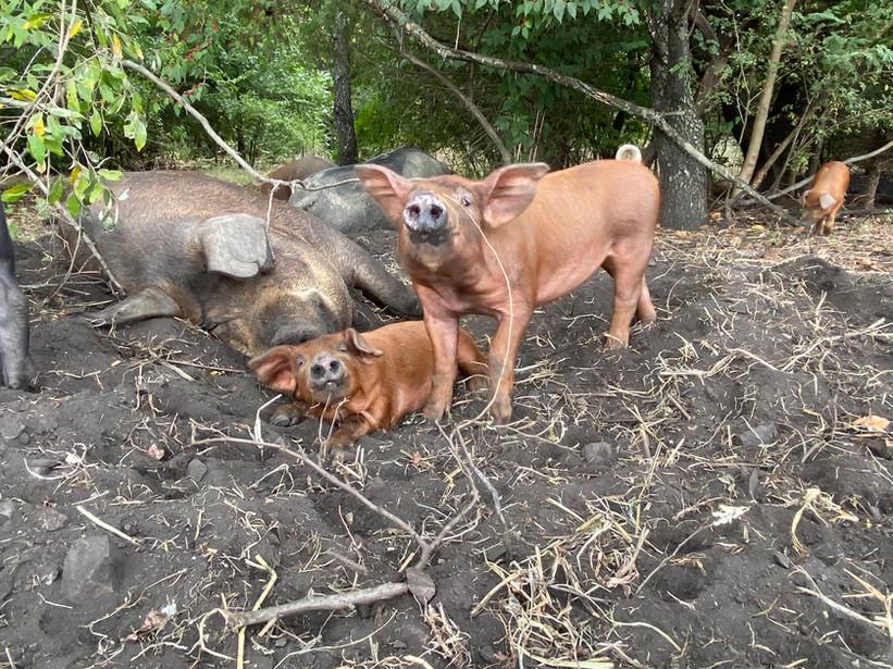 Big Muddy Hogs