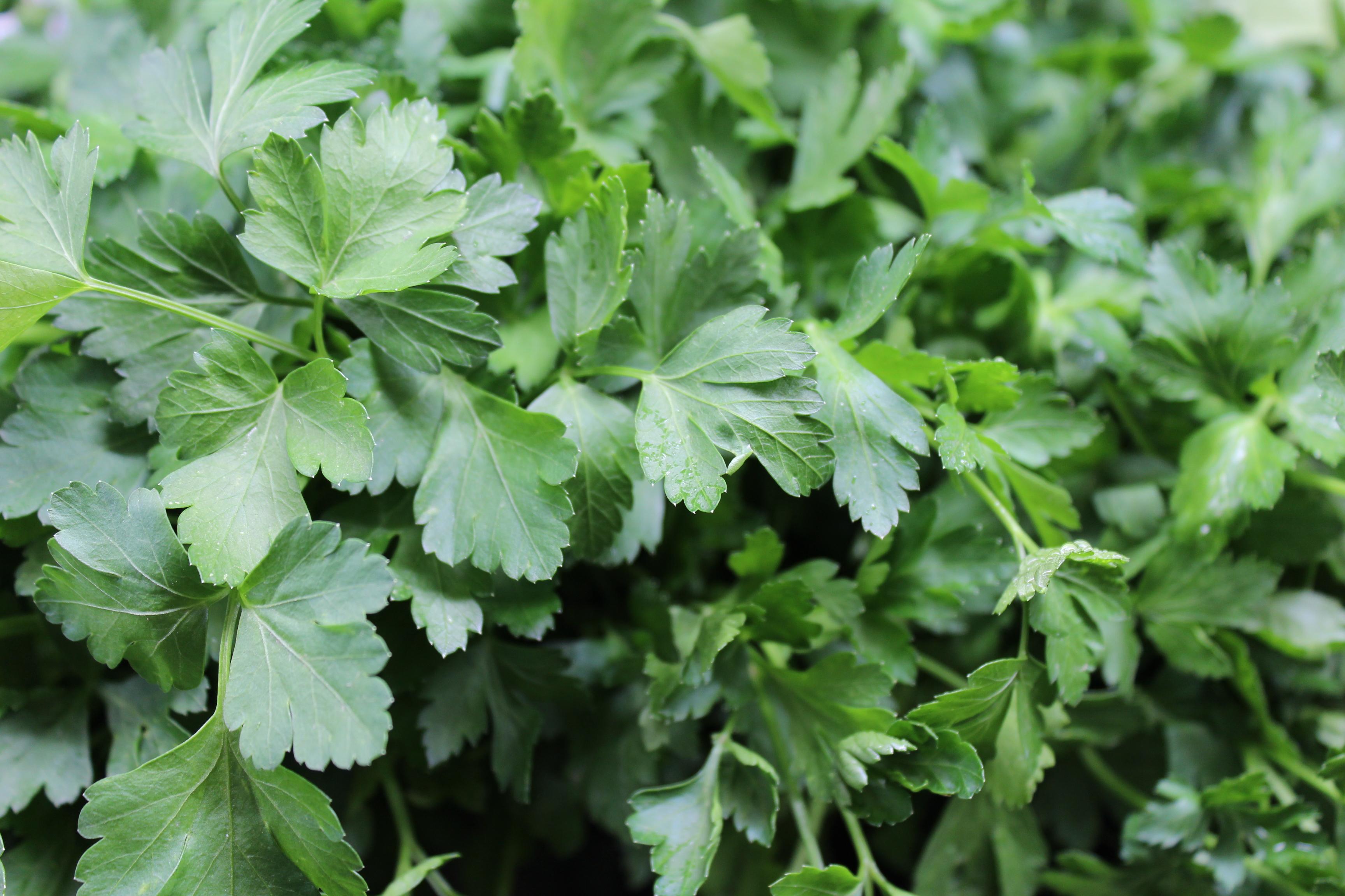 Produce_parsley_IMG_4219