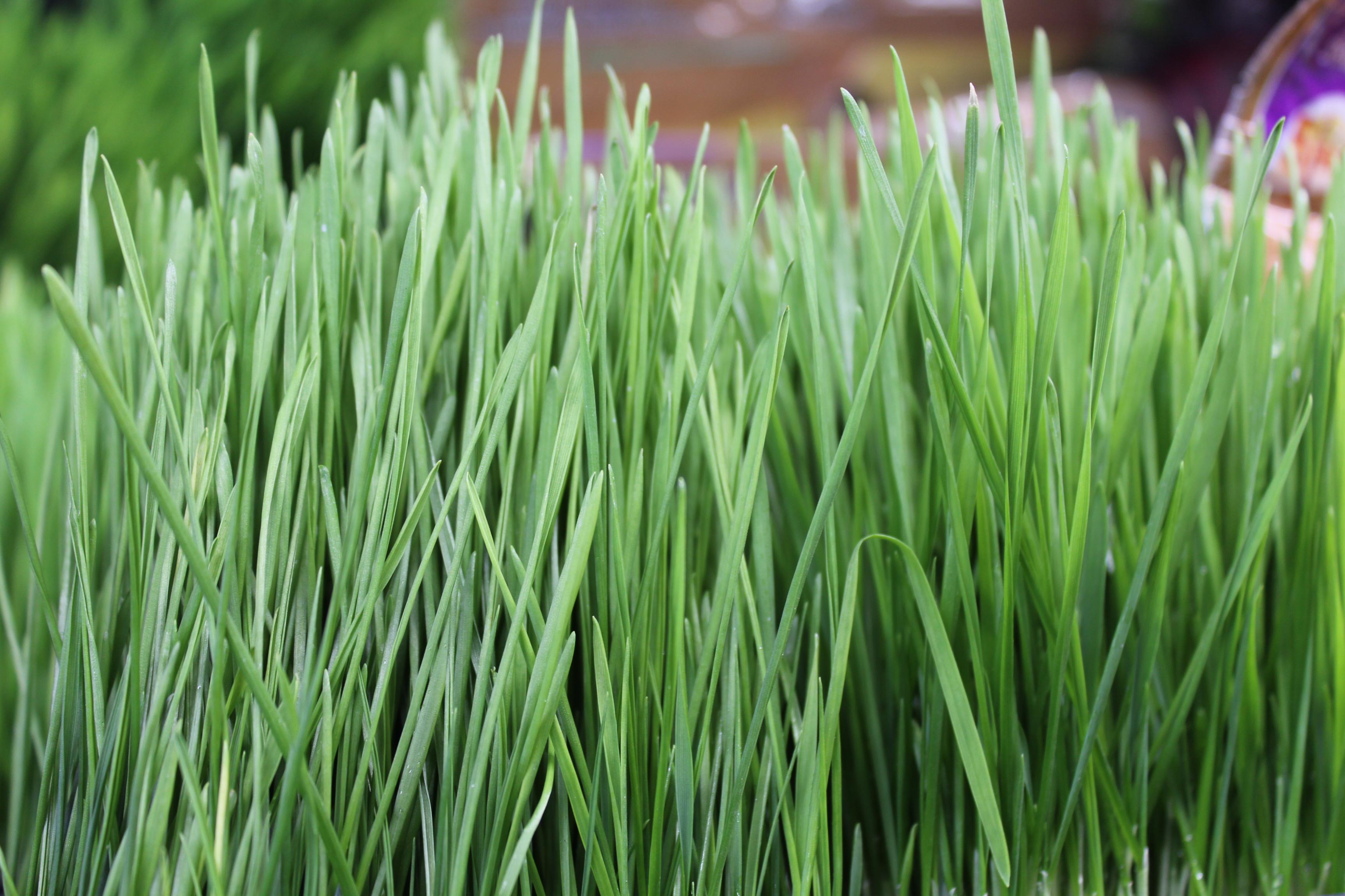 Produce_wheatgrass_IMG_4208