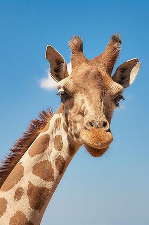 giraffe-661648_1920.jpg