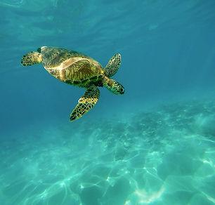 Wildlife turtle carapace-1851102_960_720