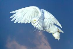 snowy owl flight 1 pro