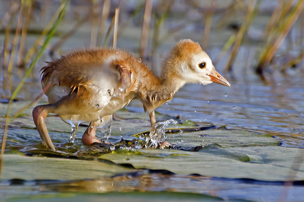 Sand Hill Crane Chick
