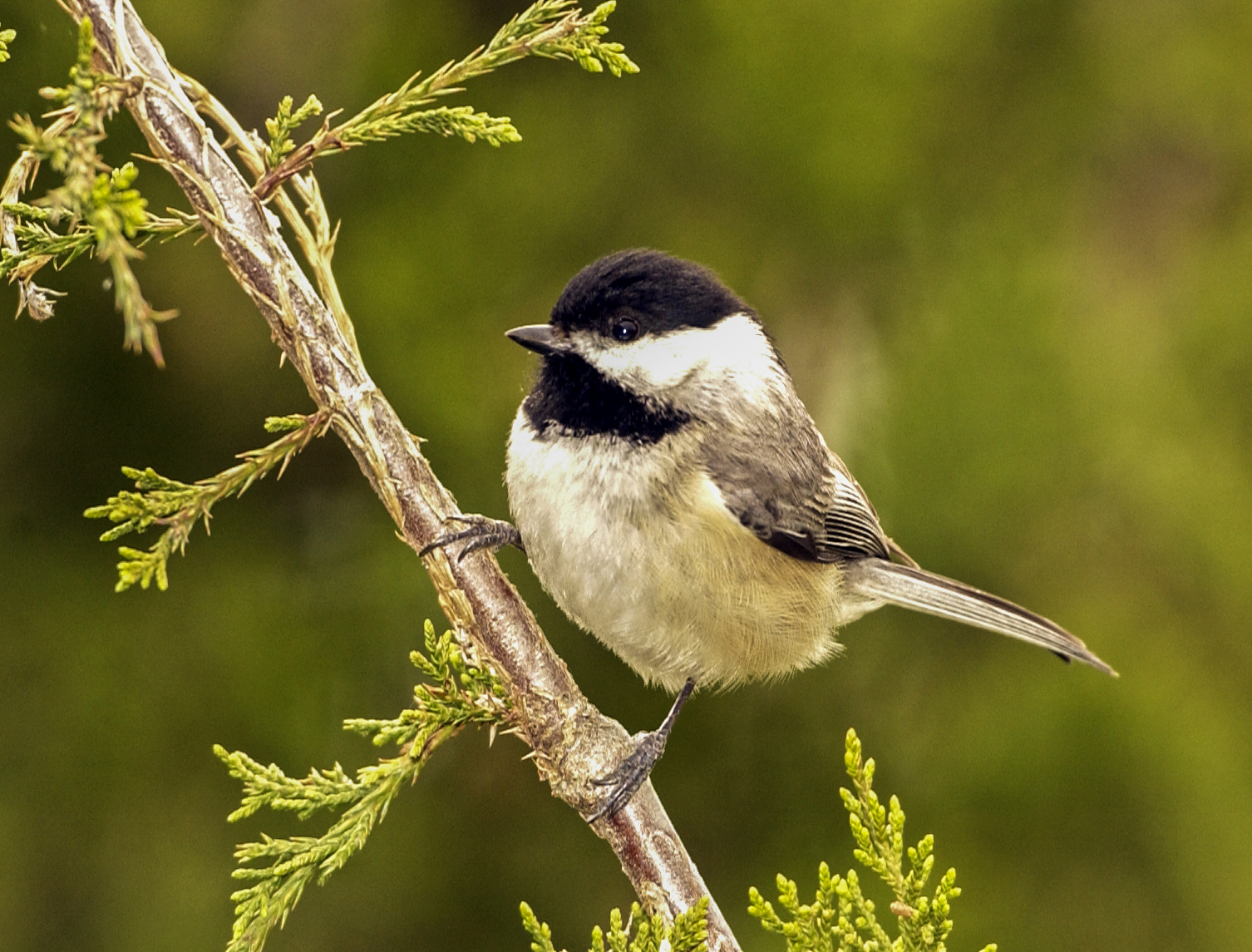 Eastern Chicadee