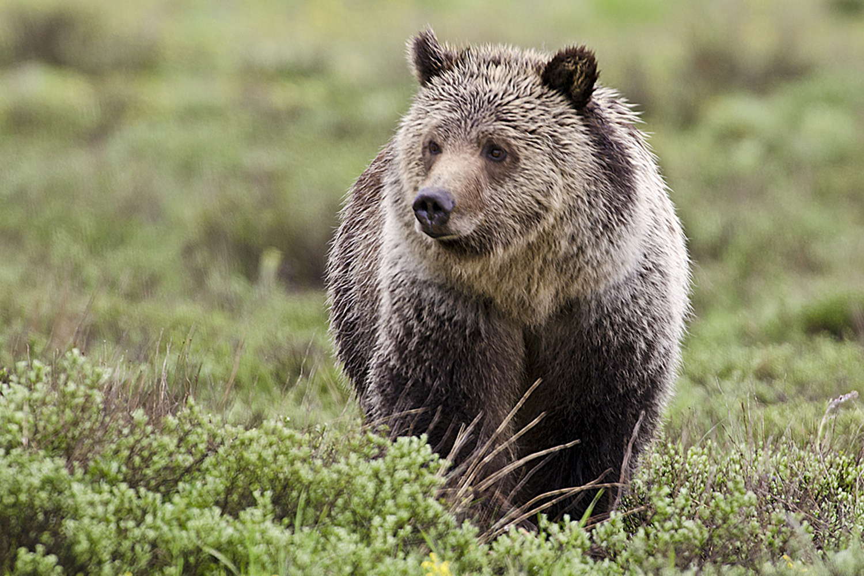 Teton Grizzliy