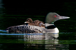 Loon and Chic