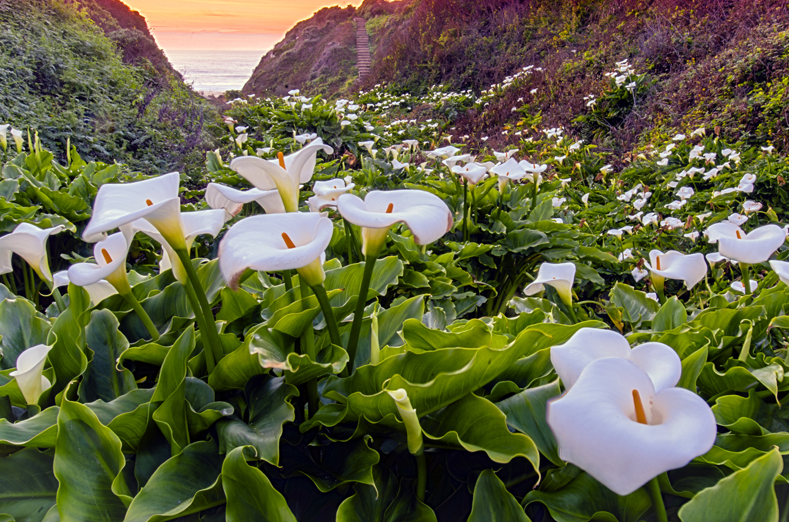Calla Lillies