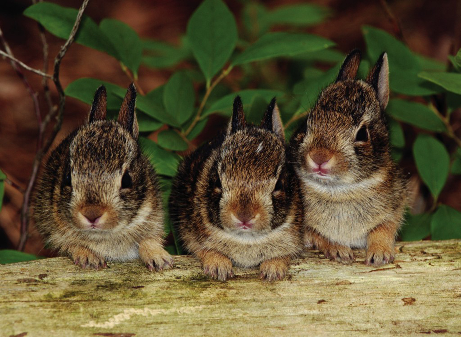 Cottontails