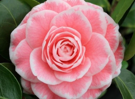 Great Camellias