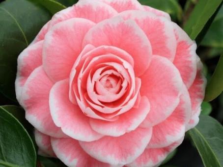 Great Camellias