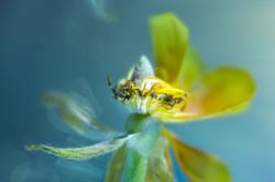 Ranunculus Dancing In-Between