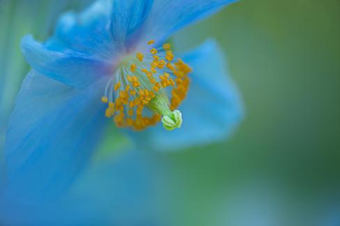 Blue Poppy 1-Jackie Kramer-2-0589.jpg