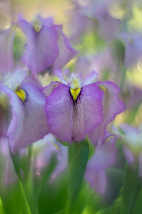 Irises-20190617-4900.jpg