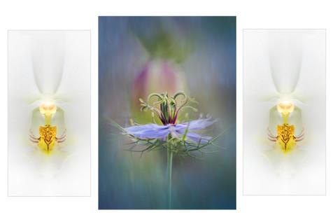 Nigella Triptych.jpg