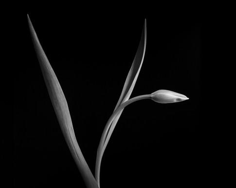 Kramer_Tulips_Winter_FINAL-6327.jpg