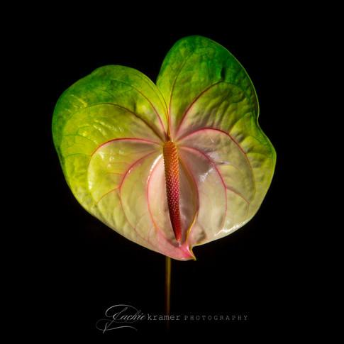 Anthurium Flower I SM-2629.jpg