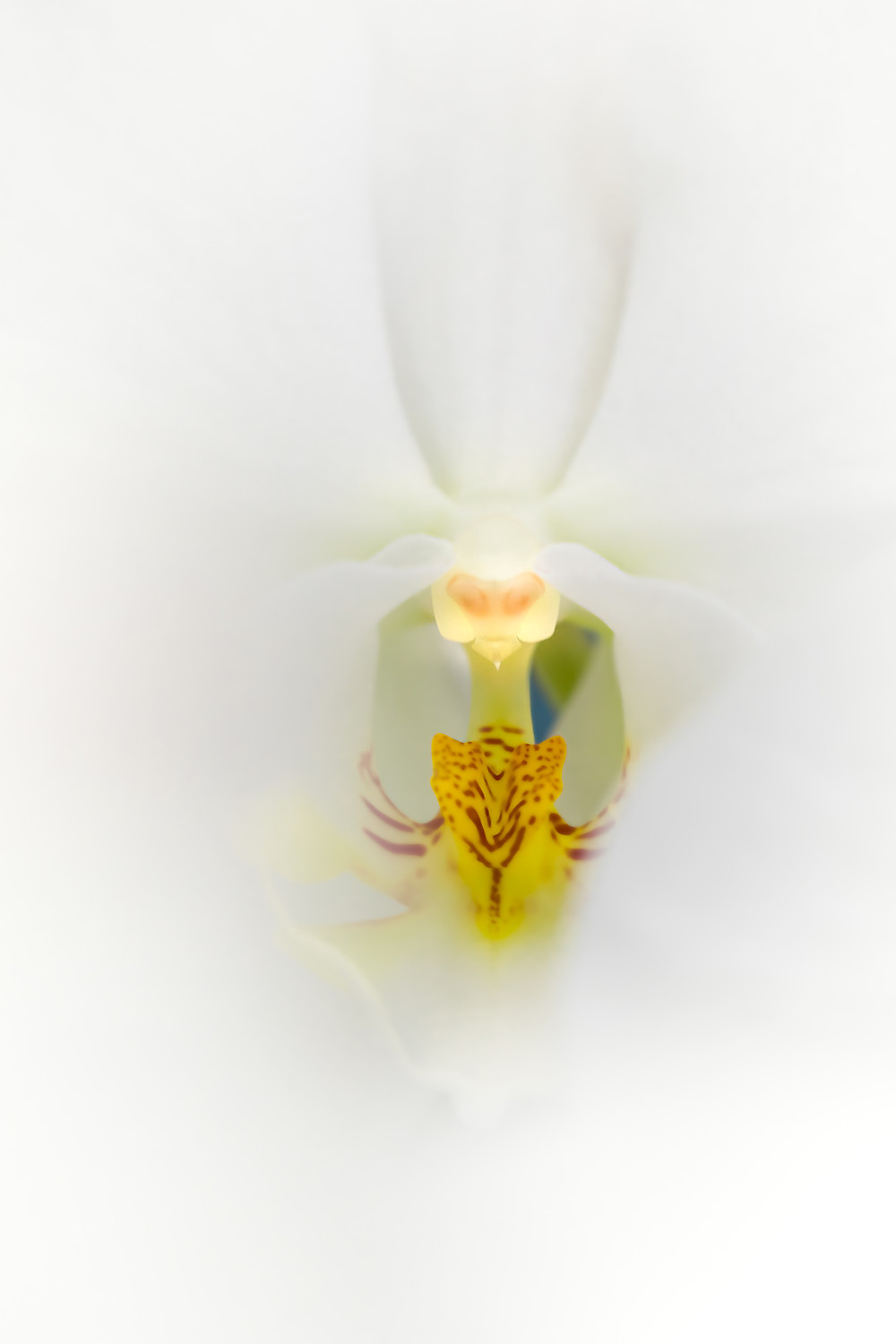 White on White - Selective Focus of Phalaenopsis Orchid