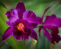 Orchids - Brilliant Purple Cattleya