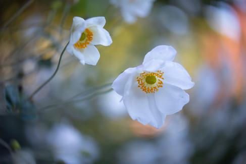 Japanese Anemones 2
