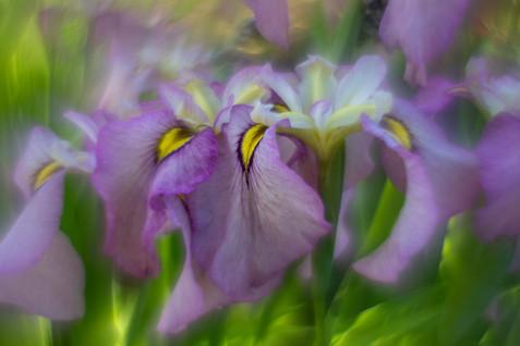 Irises-20190617-4895.jpg
