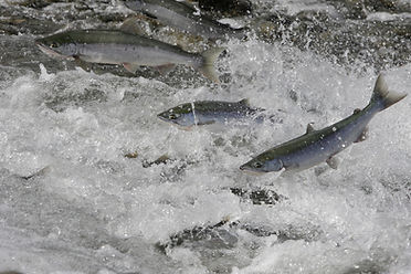 wild Alaskan Copper River sockeye and coho salmon