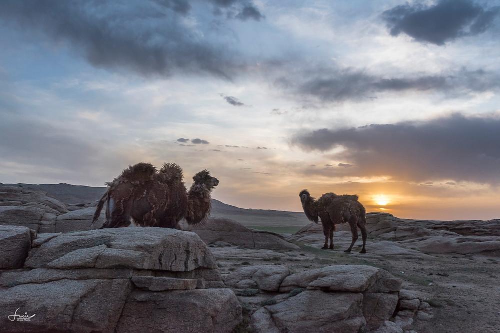 Les premiers chameaux