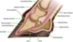 equine hoof anatomy