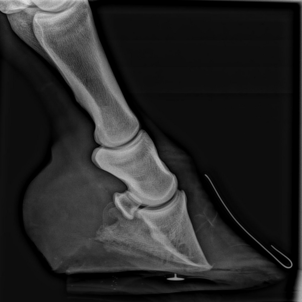 radiograph of rotated coffin bone