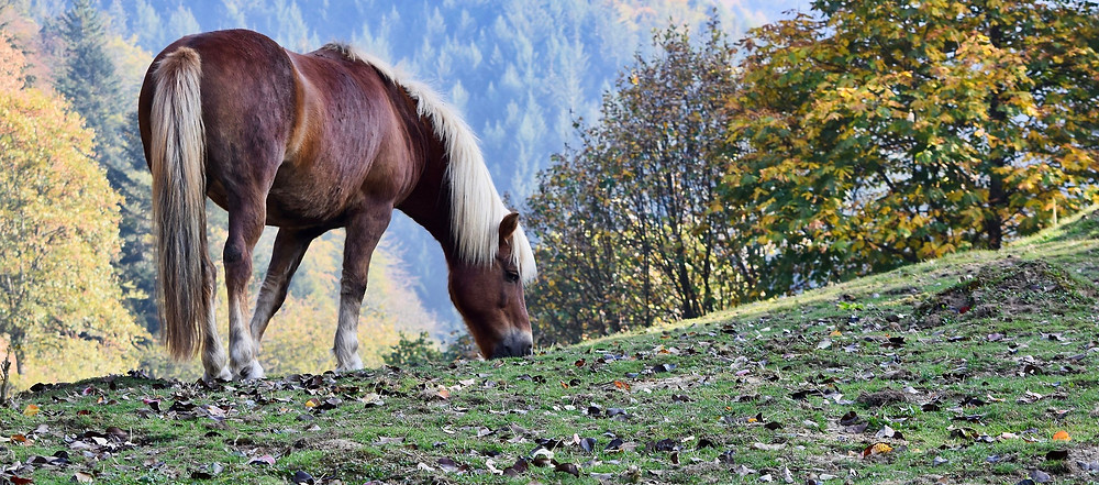 horse grazing on short grass in the fall