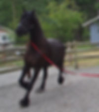 lunging horse