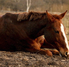 Inappetent & Down Horses