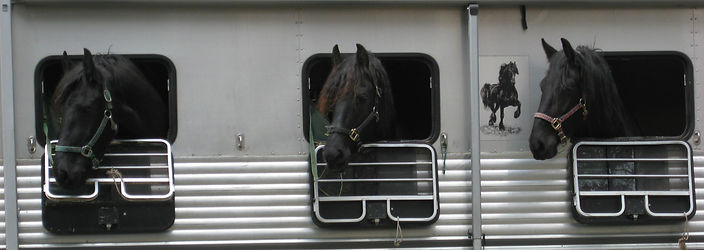 Three horses in a trailer