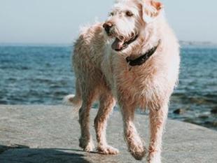 Película sobre el perro Arthur se producirá en Puerto Rico